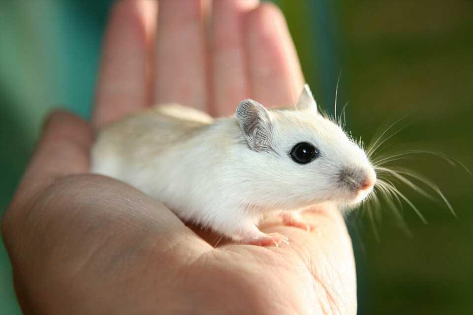 Immune-regulating drug improves gum disease in mice